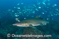 Grey Nurse Shark and fish Photo - Gary Bell