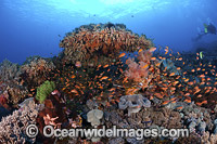 Coral Reef Indonesia Photo - David Fleetham