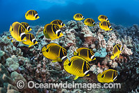 Butterflyfish and Coral Photo - David Fleetham