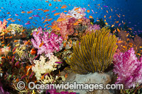 Coral Reef Fiji Photo - David Fleetham