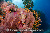 Fish and Coral Reef Fiji Photo - David Fleetham