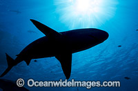 Blacktip Reef Shark silhouette Photo - David Fleetham