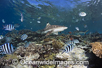 Blacktip Reef Shark on coral reef Photo - David Fleetham