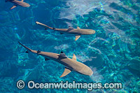 Blacktip Reef Shark Photo - David Fleetham