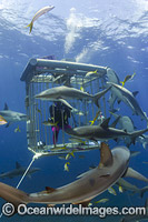 Caribbean Reef Shark Bahamas Photo - David Fleetham