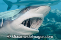 Gray Reef Shark showing teeth photo