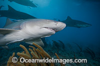 Lemon Shark Bahamas Photo - David Fleetham