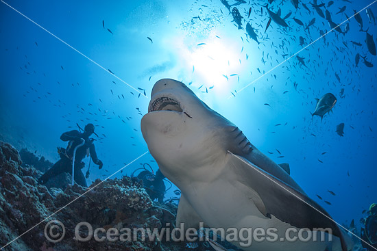 Diver with Bull Shark (Carcharhinus leucas). Also known as River Whaler, Freshwater Whaler and Swan River Whaler. Found worldwide in tropical and warm temperate seas and penetrates far into freshwater for extended periods. Bequ Lagoon, Fiji. Photo - David Fleetham