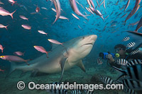 Bull Shark Photo - David Fleetham