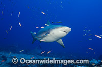 Bull Shark Fiji Photo - David Fleetham