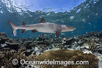 Whitetip Reef Shark on coral reef Photo - David Fleetham