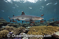 Whitetip Reef Shark on coral reef image