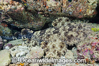 Tasselled Wobbegong Photo - David Fleetham