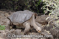 George Giant Tortoise Photo - David Fleetham