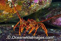 Red Spiny Lobster Tasmania Photo - Gary Bell