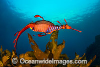 Weedy Seadragon Tasmania photo