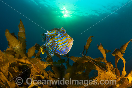 Shaws Cowfish Tasmania photo