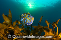 Shaws Cowfish Tasmania image