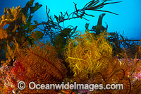 Feather Stars Tasmania Photo - Gary Bell