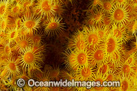 Yellow Zoanthids Tasmania Photo - Gary Bell