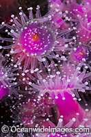 Jewel Anemones Photo - Gary Bell