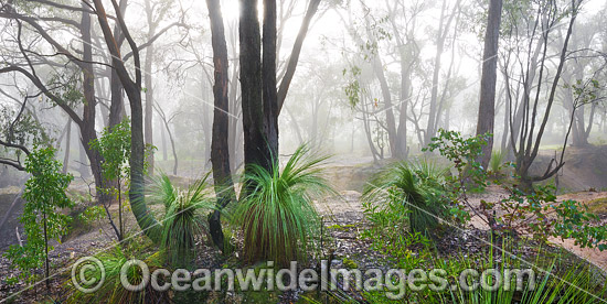 Morning mist in eucalypt bushland, dotted with grass trees. Near Ballarat, Victoria, Australia. Photo - Gary Bell