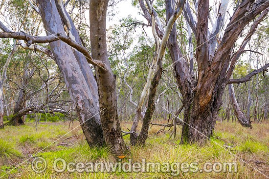 Box-ironbark Forest, situated in the Heathcote-Graytown National Park, near Graytown, Victoria, Australia. Photo - Gary Bell