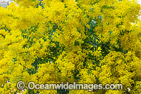 Fringes Wattle Flower Photo - Gary Bell