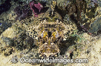 Crocodilefish photo