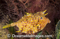 Thorny-back Cowfish photo