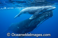 Humpback Whale mother and calf Photo - Vanessa Mignon