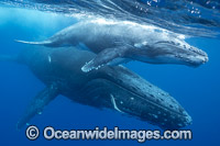 Humpback Whale mother and calf underwater Photo - Vanessa Mignon