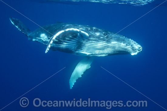 Humpback Whale (Megaptera novaeangliae) - underwater. Found throughout the world's oceans in both tropical and polar areas, depending on the season. Photo taken in Tonga. Classified as Vulnerable on the 2000 IUCN Red List. Photo - Vanessa Mignon