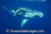 Humpback Whale underwater image