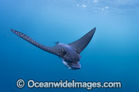 White-spotted Eagle Ray Photo - Vanessa Mignon