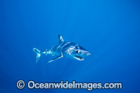 Shortfin Mako Shark Photo - Vanessa Mignon