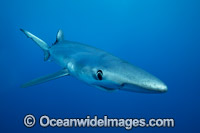 Blue Shark Photo - Vanessa Mignon
