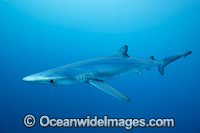 Blue Shark photo