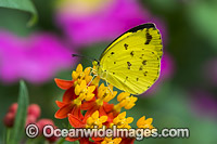 Large Grass-yellow Butterfly photo
