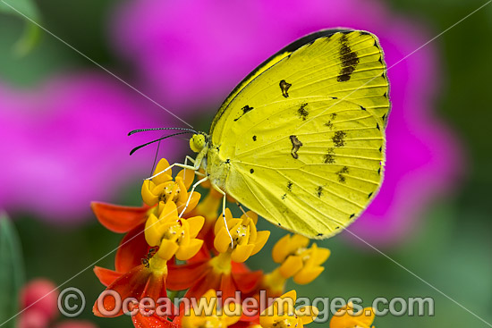 Large Grass-yellow Butterfly (Eurema hecabe), feeding on flower nectar. Also known as Common Grass-yellow Butterfly. Found in the northern parts of Australia, also Asia and Africa. Photo - Gary Bell