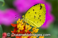 Large Grass-yellow Butterfly Australia photo