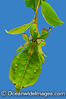 Australian Leaf Insect Phyllium monteithi photo