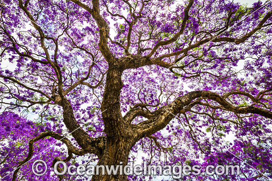 Jacaranda Tree, photographed in full flower during the Jacaranda Festival in Grafton City, New South Wales, Australia. The city of Grafton is the commercial hub of the Clarence River Valley, known as Jacaranda City. Photo - Gary Bell