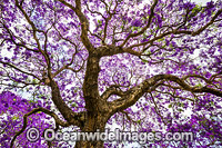 Jacaranda Tree Grafton photo