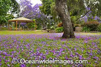 Jacarandas Grafton photo