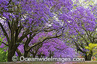 Jacaranda Avenue Grafton photo
