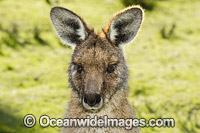Forester Kangaroo Tasmania Photo - Gary Bell