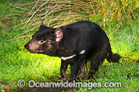 Tasmanian Devil Photo - Gary Bell