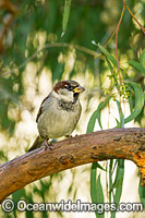 Introduced Sparrow Australia Photo - Gary Bell