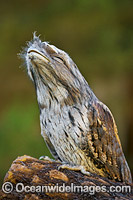 Tawny Frogmouth Photo - Gary Bell